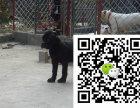 犬舍出售纯正卡斯罗哪有犬舍能买到纯正的卡斯罗卡斯罗价格