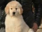 纯种金毛幼犬宠物狗可爱呆萌小金毛犬