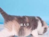 英国纯种短毛猫 蓝猫