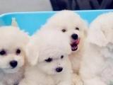 南宁出售 纯种比熊幼犬 疫苗齐全出售中 可签协议健康保障