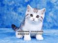 美国短毛猫虎斑猫出售外表美丽大方-叫声细小甜美