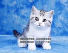专业猫舍繁殖纯种健康美短虎斑猫美短加白保健康