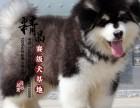 山东济南纯种阿拉斯加雪橇犬幼犬多少钱一只