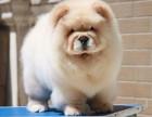 大型犬舍繁殖高品质松狮健康有保证欢迎上门
