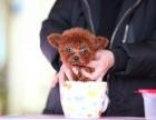 六安哪里卖泰迪犬 泰迪犬价格 泰迪哪里有