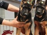 雅轩名犬基地缔造优质英斗幼犬三针做齐质保三年可送可刷卡