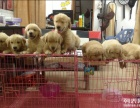 上海哪里出售金毛幼犬上海金毛狗狗价格上海金毛哪里买多少钱