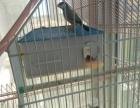 自己家一手带大的观赏鸟