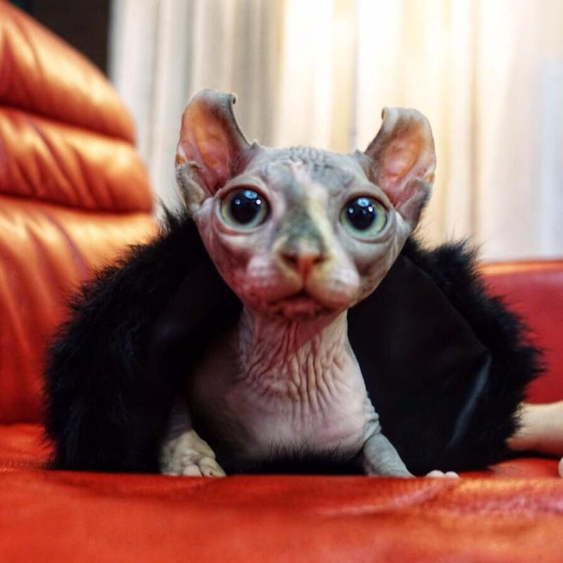 斯芬克斯无毛猫卷耳精灵公猫对外借配配种