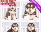 出售阿拉斯加雪橇犬 签订正式协议 当面协议