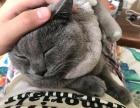 纯正蓝猫14个月