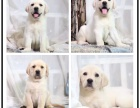 出售自己繁殖的丶拉布拉多犬丶证书双血统丶签协议