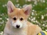 纯种威尔士短腿柯基幼犬出售 可包健康 可签协议