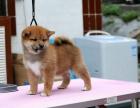 中国专业繁殖双血统柴犬犬舍 可以上门挑选