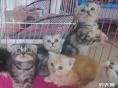 出售折耳虎斑纹美短猫宠物猫