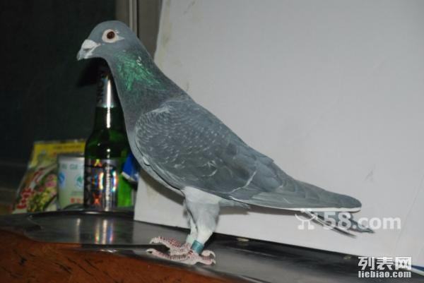 石家庄信鸽出售