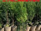 东北红豆杉杯苗 东北红豆杉盆景 造型红豆杉盆景