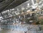兴旺养鸽厂批发零售种鸽乳鸽