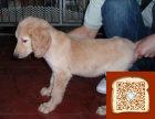 阿富汗犬掉毛吗 阿富汗犬成年有多种 阿富汗犬修毛
