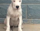 纯种拉斑点狗 包疫苗 犬舍繁殖多种 买狗送用品