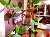 橡皮树,阔叶招财,热带风情