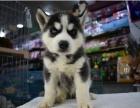 上门700一只 哈士奇犬 包健康 包纯种 有多条狗狗挑选