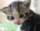 纯种短毛猫 品种多 实物拍摄 价格实惠 可送选