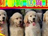 京津冀送狗上门——盛辉金毛狗场——优秀种公配种
