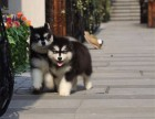 犬舍直销,阿拉斯加,金毛,拉布拉多,德牧