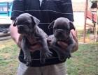 佛山市哪里有卖法国斗牛犬 佛山市哪里有卖法国斗牛犬幼犬