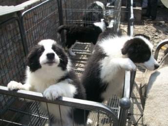 赛级高智商边境牧羊犬 繁殖基地直销疫苗全包健康
