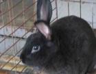 比利时肉兔价格