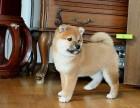 正规繁殖 签订协议 可当场做检查 纯种柴犬