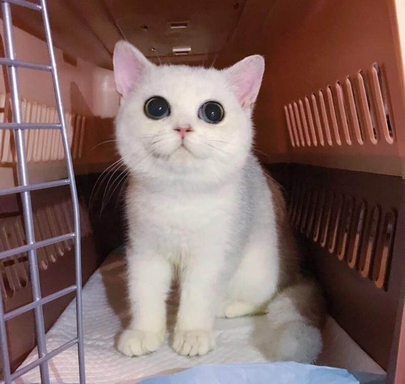 专业繁殖精品渐层猫 疫苗齐全 活泼可爱 超长保质支持货到付款