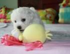 郑州宠物市场 郑州出售比熊犬 纯白色可爱比熊宝宝多少钱