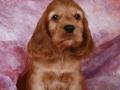 我家一窝可卡幼犬出售