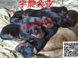 三个月的莱州红犬小狗多少钱纯种莱州红犬价格图片