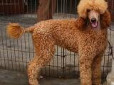 家养一窝纯种贵宾犬可以签协议 来家里看狗父母