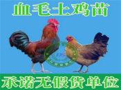 贵州土鸡苗市场行情资讯|遵义彩凤鸡苗供应商