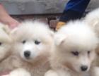 白魔法血系的笑脸萨摩幼犬宝宝待售中