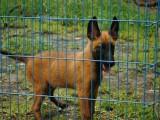 包防疫驱虫 可见狗父母 纯种马犬,包健康,送用品
