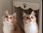 缅因猫,幼猫出售