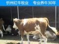山西省西门塔尔肉牛价格
