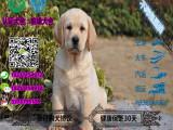 大骨架神犬小七拉布拉多包纯种包健康保养活