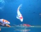 风水鱼招财鱼,日本锦鲤