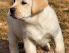 本地可上门选狗拉布拉多犬 分享养狗知识