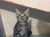 家庭培育美国银虎斑猫九九九带回家纯种花纹清晰粘人