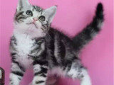 江苏苏州美短加白猫幼崽一只到手价格