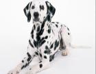 犬舍诚信直销 斑点幼犬 健康纯种 支持上门可送货 无中介!