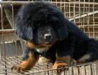 中国专业繁殖双血统藏獒犬舍 可以上门挑选
